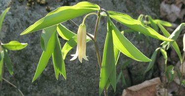 Botanical Gardens: A Trio of Bellworts