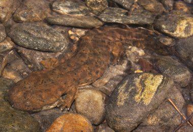 Eastern Hellbender Conservation
