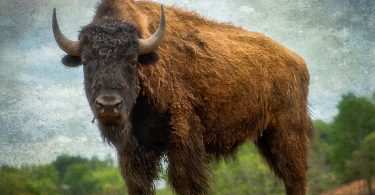 Ancient Road Infrastructure Created by Bison