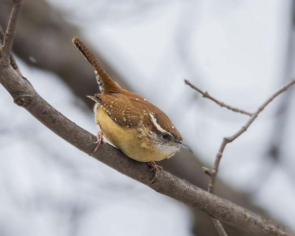 Bird Songs of Western North Carolina