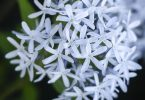 In Bloom: Blue Star