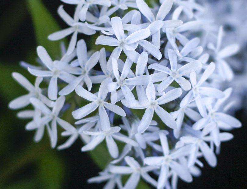 In Bloom: Blue Star