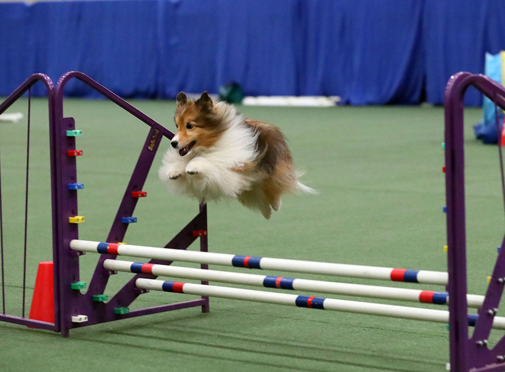 Best Small Dogs For Agility