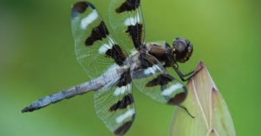 Dragonflies: Fascinating Jewels on the Wing