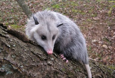 The Wild Truth About Opossums