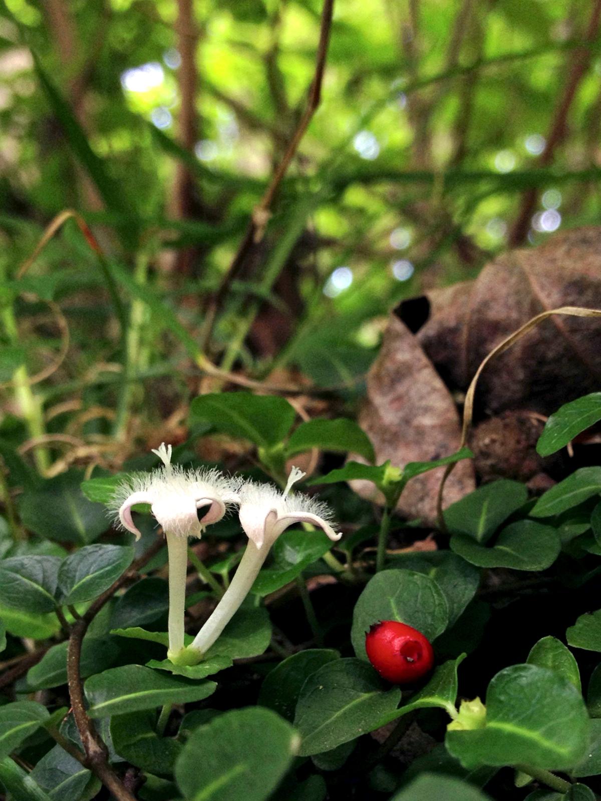 Native Plant Profile: Partridge Berry