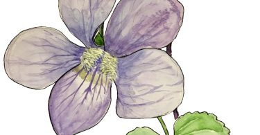 In Bloom: Common Blue Violet