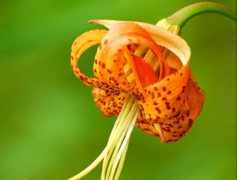 Carolina Lily North Carolina S State Wildflower The