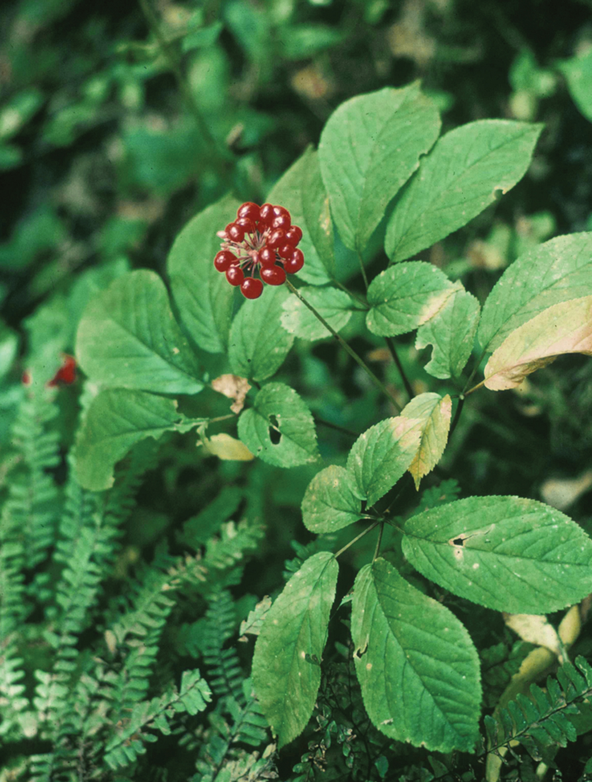 Digital Heritage Moment: Ginseng