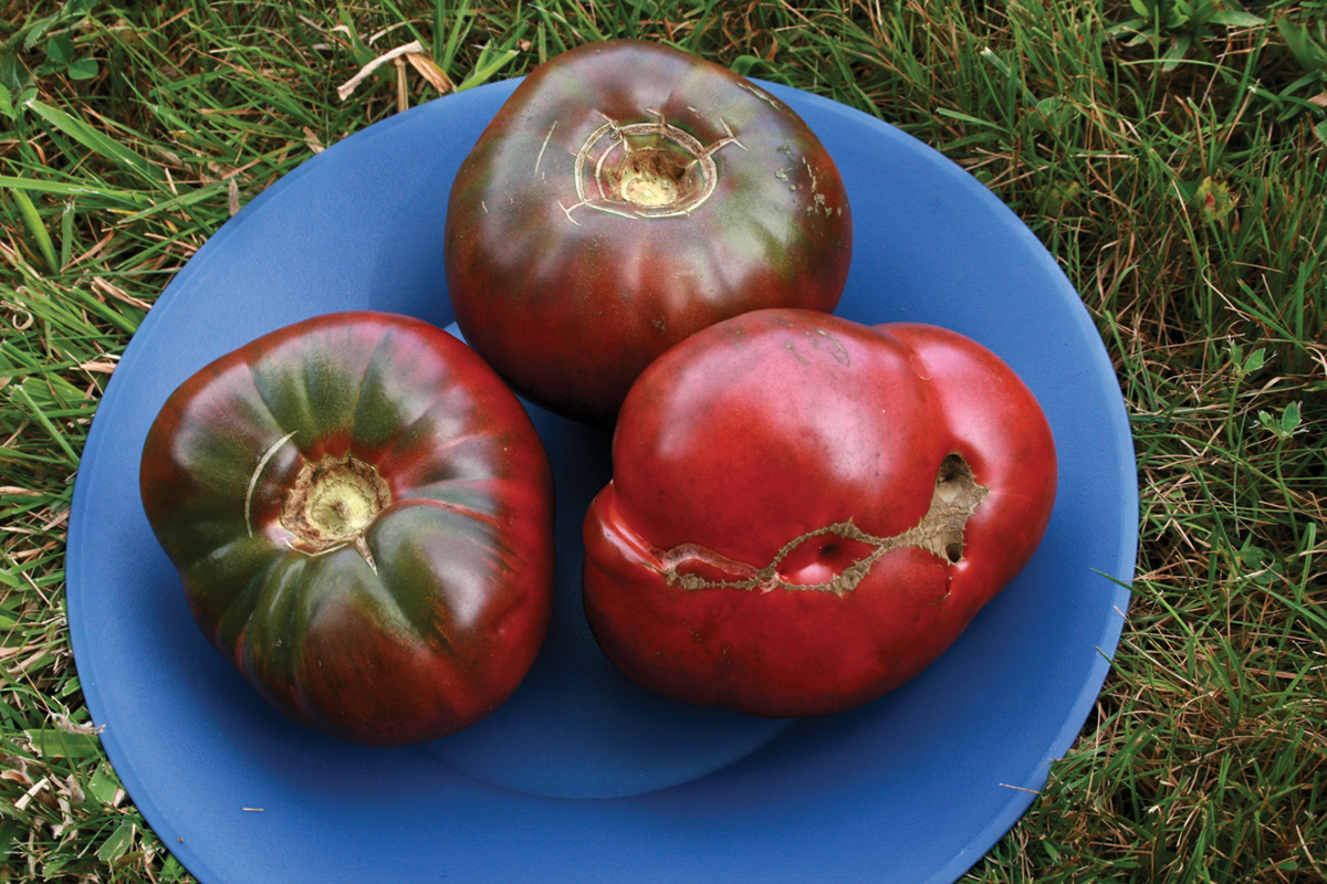 The Cherokee Purple Heirloom Tomato