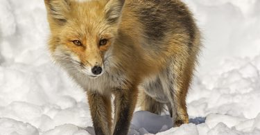 The Wild Truth About Foxes