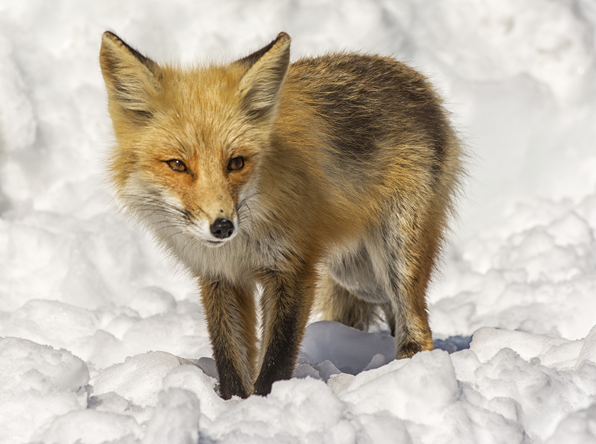 The Wild Truth About Foxes The Laurel Of Asheville