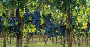The Grapevine: Mona Lisa's Wine