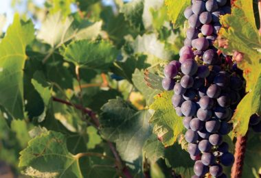 April Showers: Effects of Water on Vines