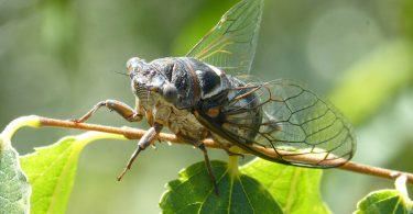 The Sounds of Summer: Insect Choruses