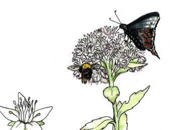 In Bloom: Live Forever Sedum