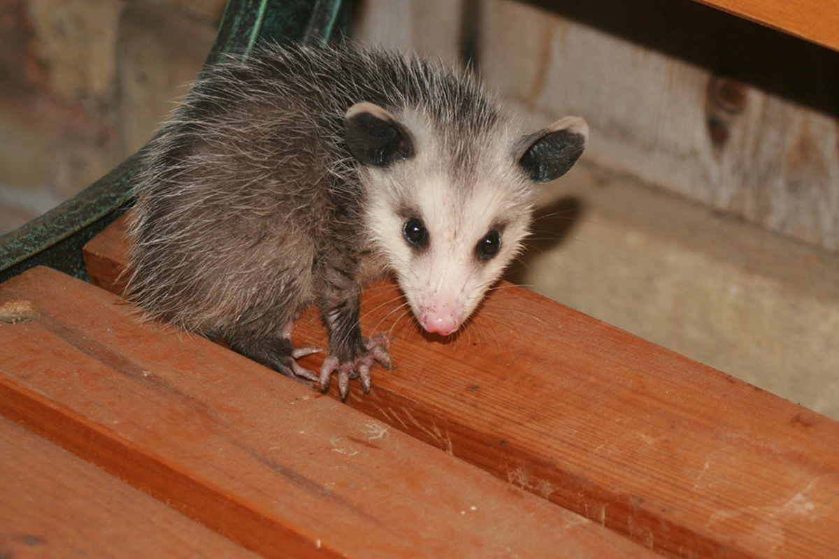The Wild Truth About Humane Critter Removal