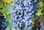 Harvesting the Riches of the Vine