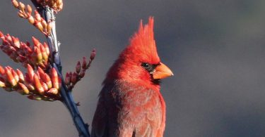 Favorite Bird Profile: Northern Cardinal
