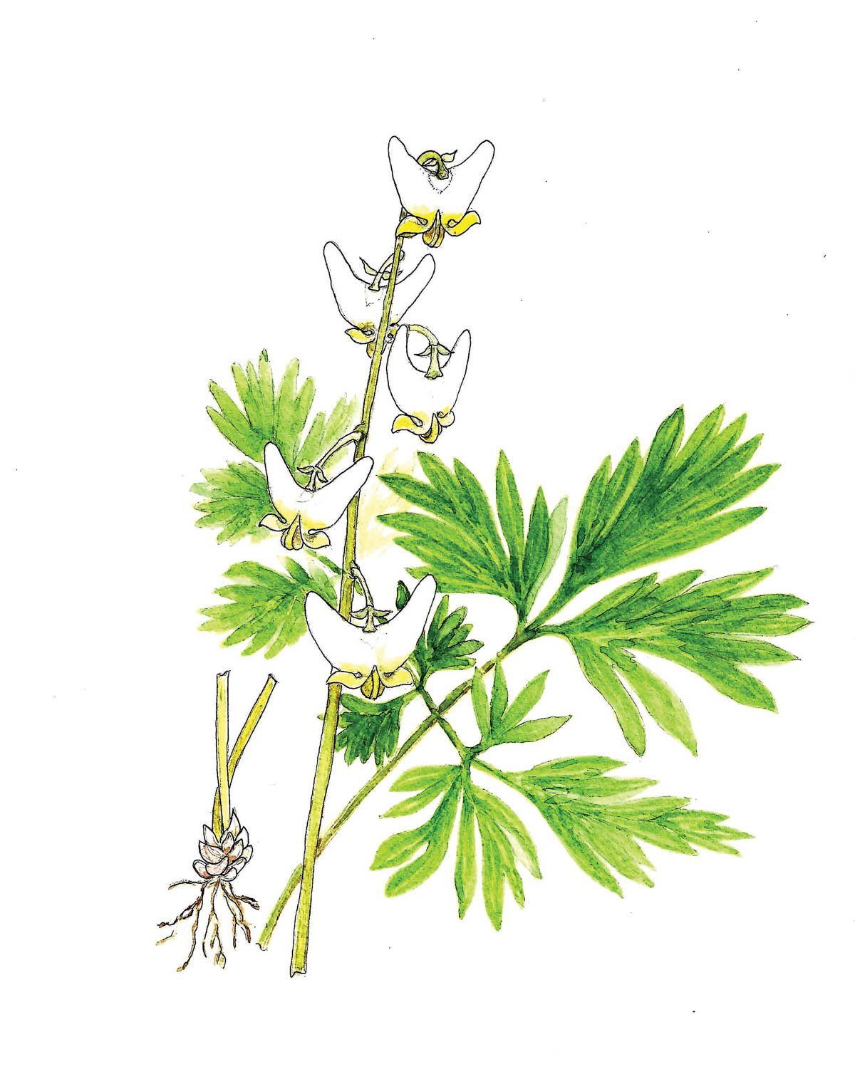 In Bloom: Dutchman's Breeches