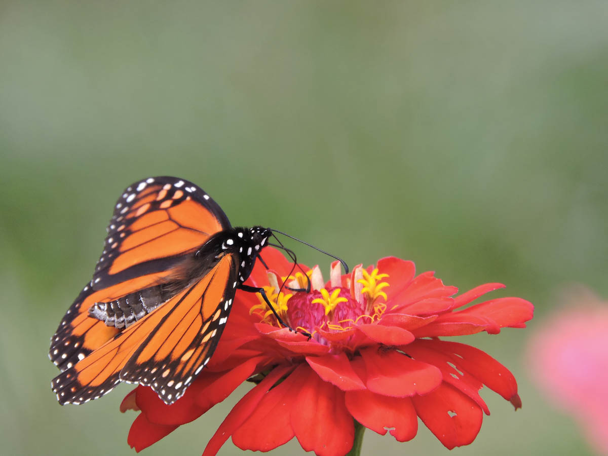 pollination month monarch on a zinnia