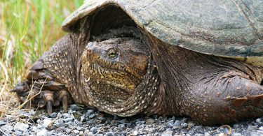 Nesting Season for Snapping Turtles