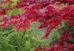 Nichols Nursery Hosts Mr. Maple Festival May 27