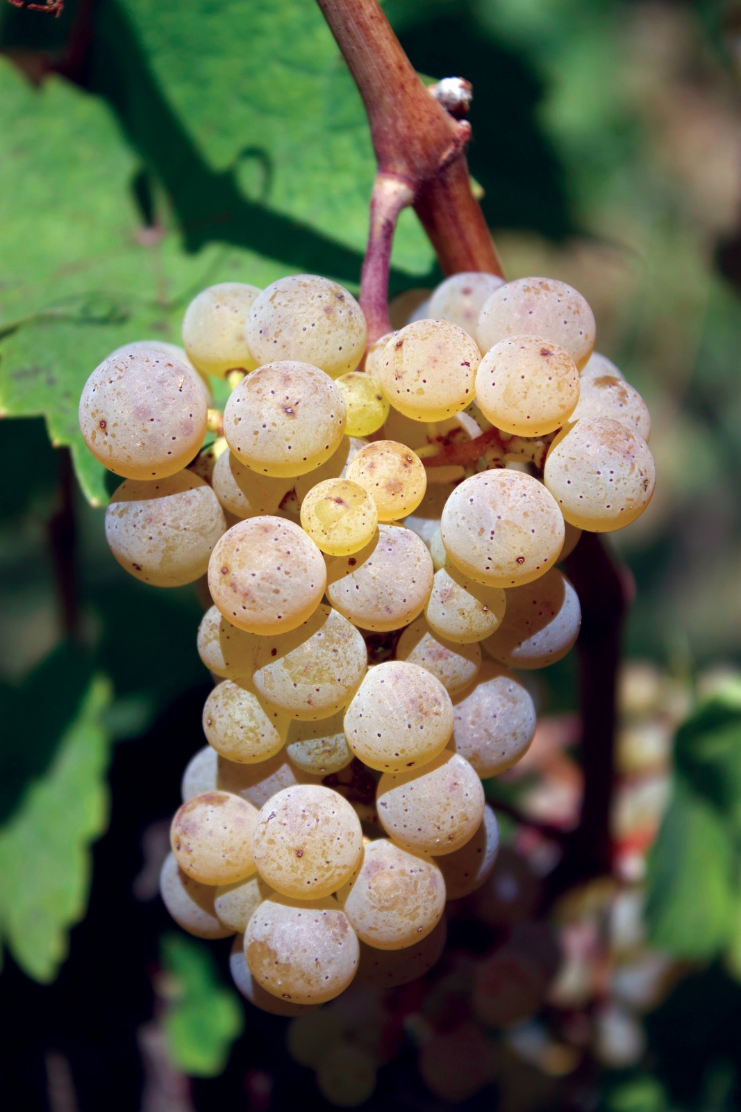 Riesling: It's Not All Sweet