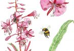 Fireweed. Anne Holmes, illustrator