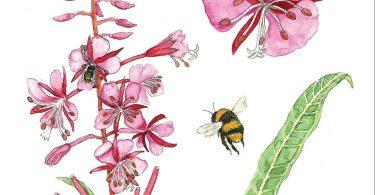 Fireweed. Anne Holmes, illustrator