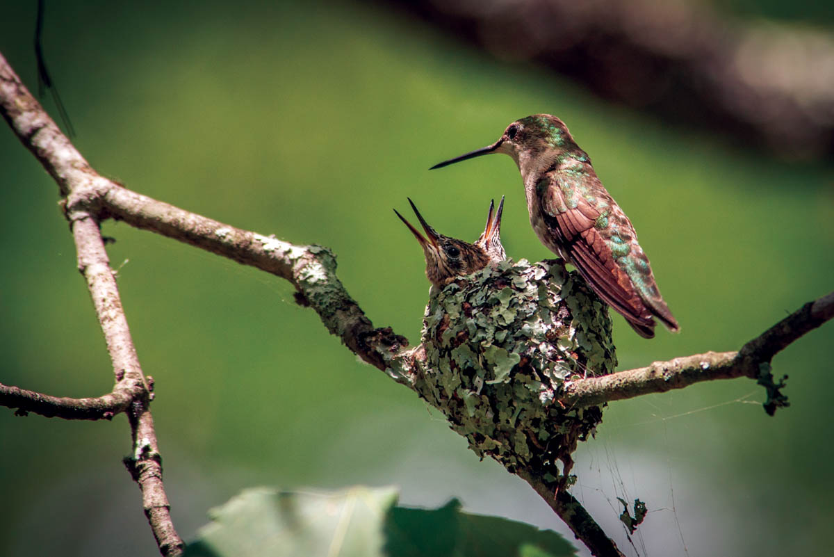 Spotting The Remarkable Hummingbird Nest The Laurel Of Asheville