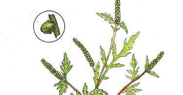 Ragweed. Anne Holmes, illustrator