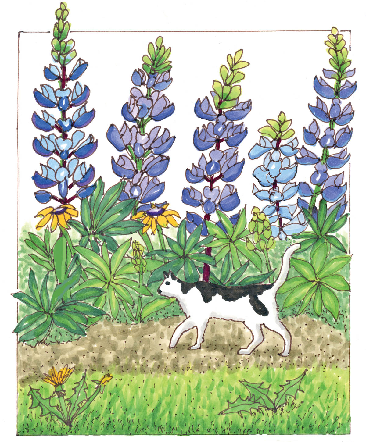 Spreading Beauty: The Story of the Lupine Lady