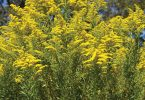 Goldenrod is Summer's Gold