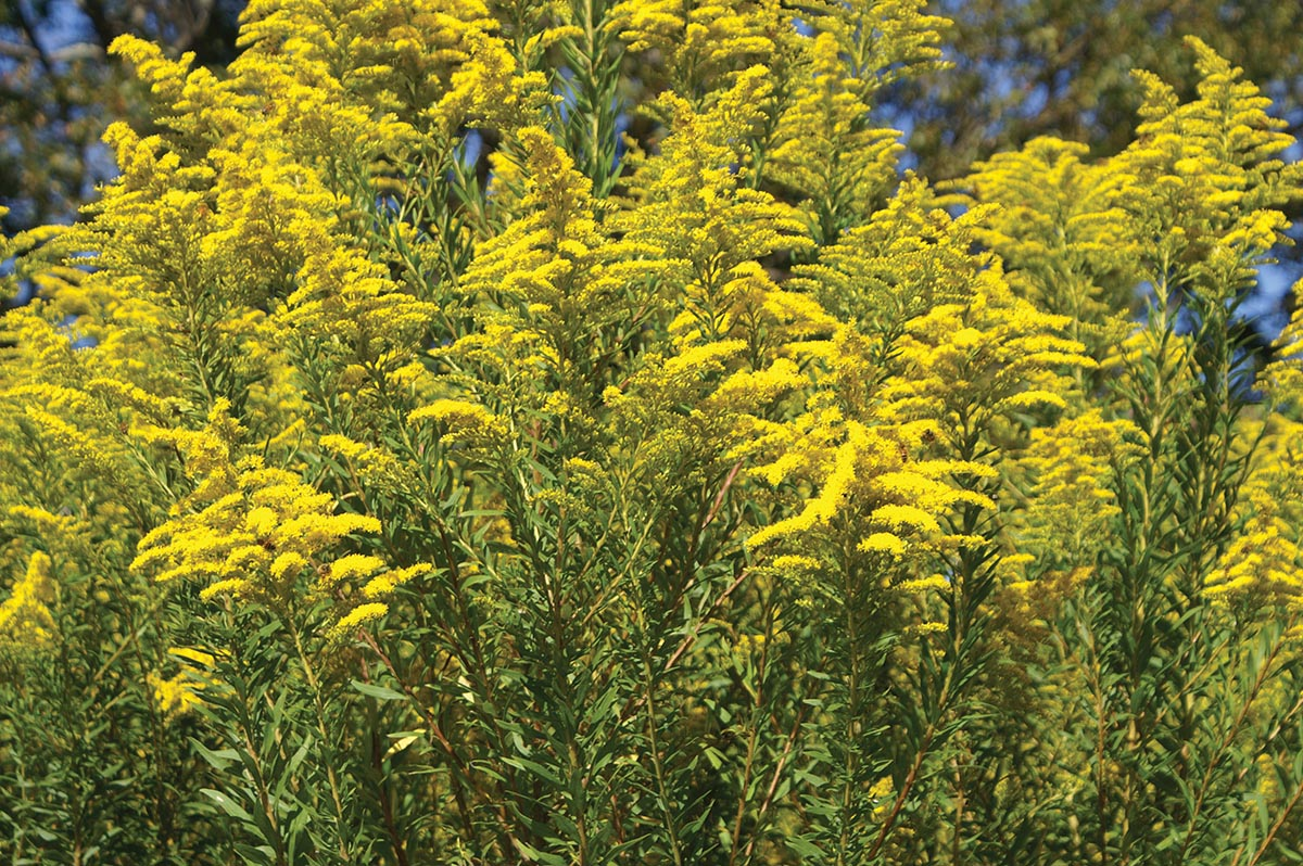 Goldenrod is Summer's Gold