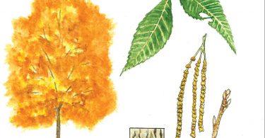 Pignut Hickory. Anne Holmes, illustrator