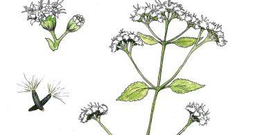 White Snakeroot. Anne Holmes, illustrator
