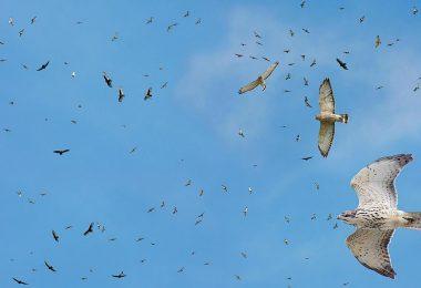 Hawk Migration: A Fall Phenomenon