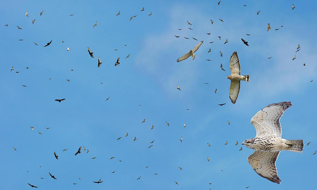 Hawk Migration: A Fall Phenomenon