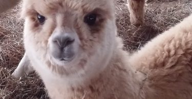 Photo courtesy of Starr Cash, Venezia Dream Farm Alpacas