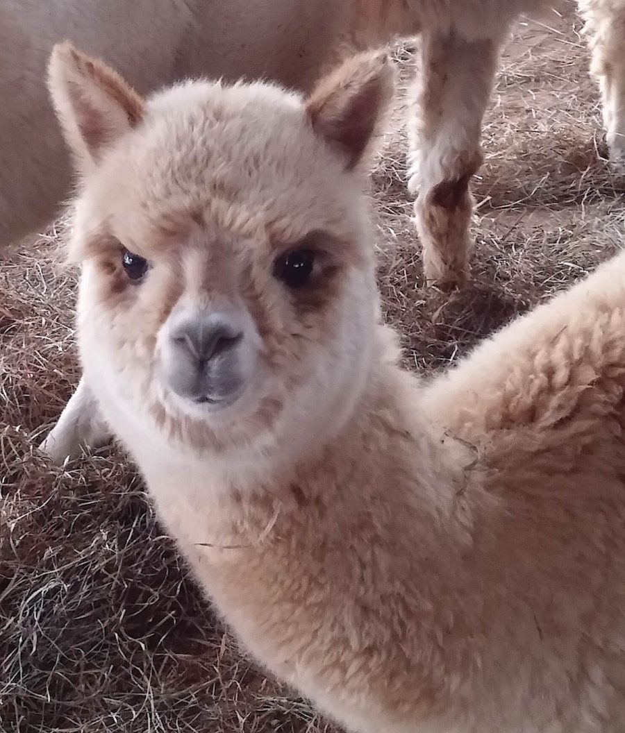 Photo courtesy of Starr Cash, Venezia Dream Farm Alpacas
