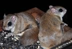 The Wild Truth: Flying Squirrels
