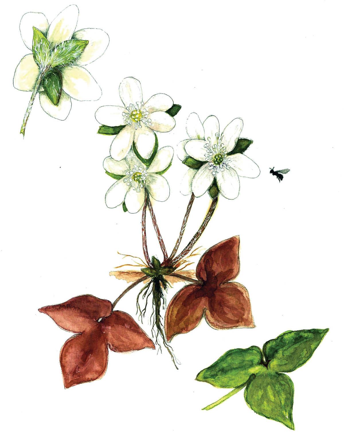 In Bloom: Hepatica