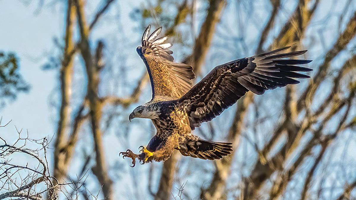 The Wild Truth: Bald Eagles Increasingly Call Our Mountains Home