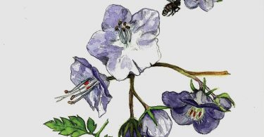 In Bloom: Fernleaf Phacelia