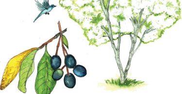 In Bloom: Fringe Tree