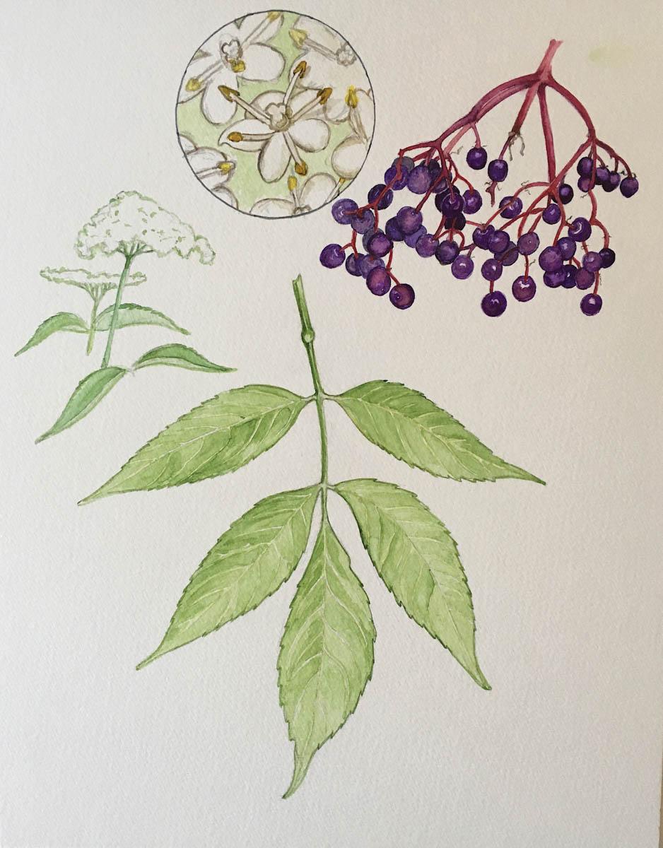 In Bloom: Elderberry