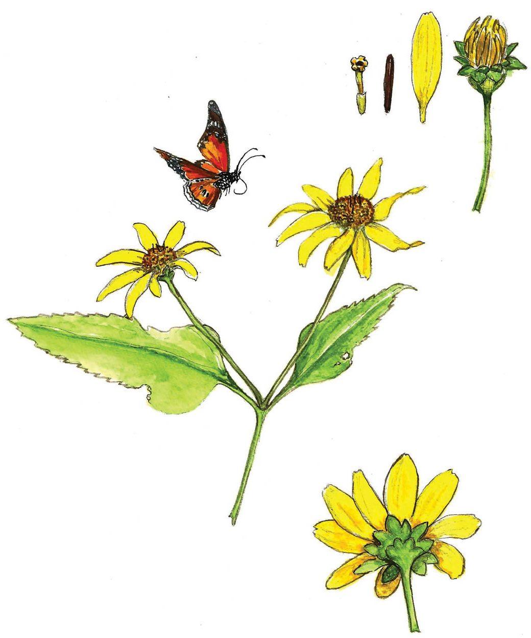 In Bloom: Eastern Oxeye