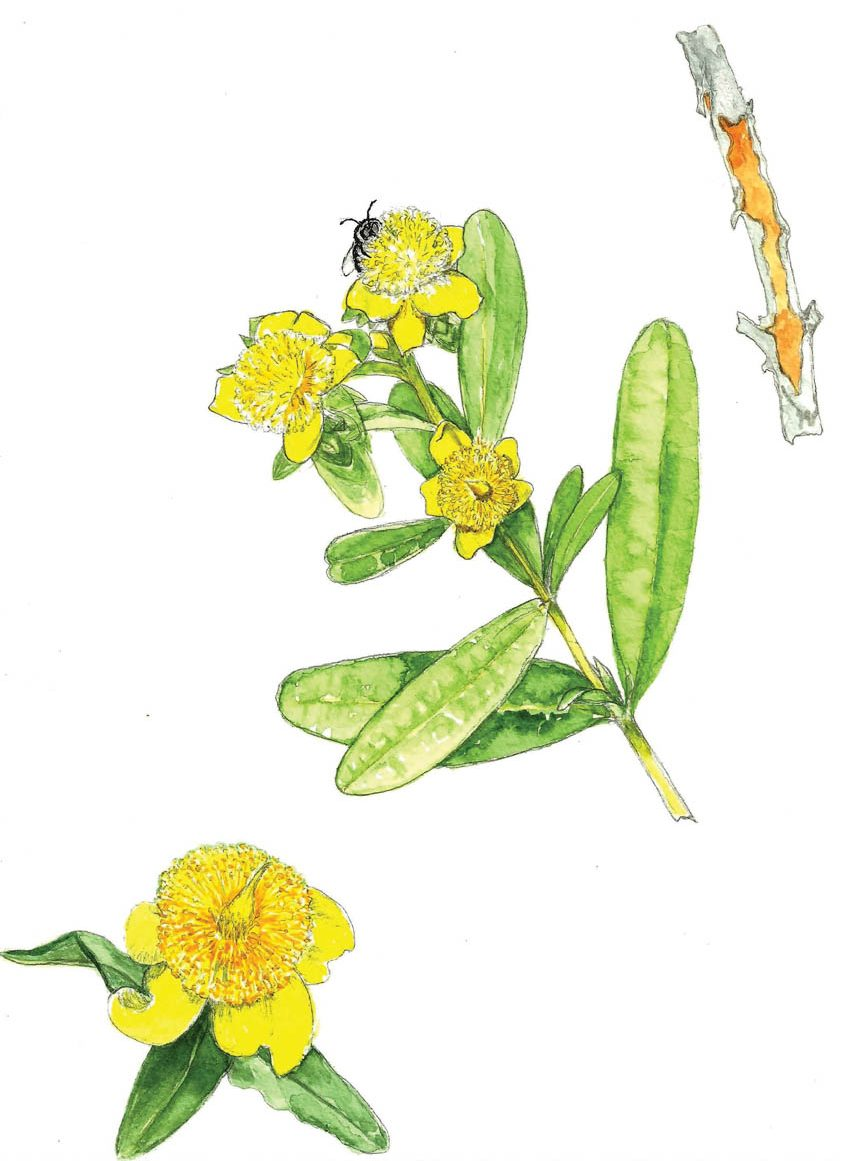 In Bloom: St. John's Wort