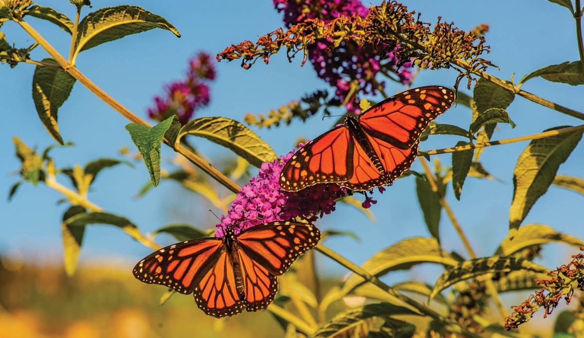 NC Arb Monarch Butterfly Day